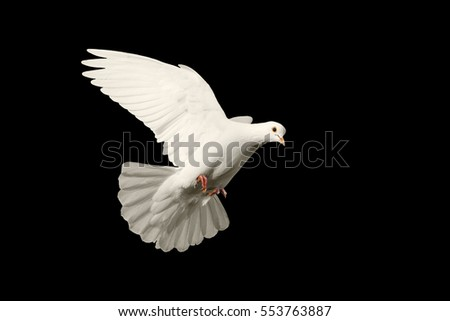 white dove flying symbol of love isolated on black background,Valentine's Day, a symbol of loyalty, love, peace symbol