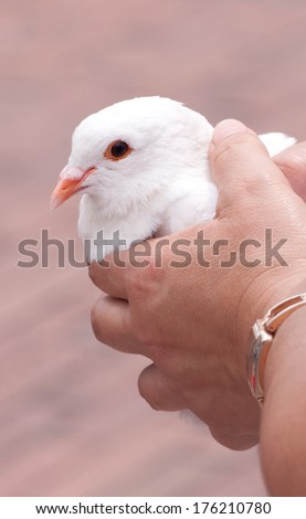 White dove, held in the hands of a female, moments before release - stock photo