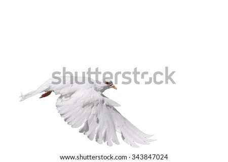 White dove in flight on a white background/White dove in flight on a white background - stock photo