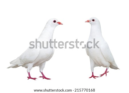 white dove isolated on white background - stock photo