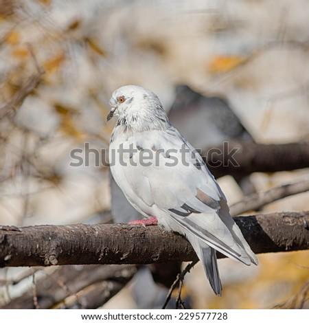 white dove on a branch of autumn tree - stock photo