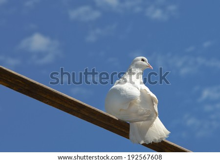 White dove sitting on a wooden plank on a blue sky background - stock photo