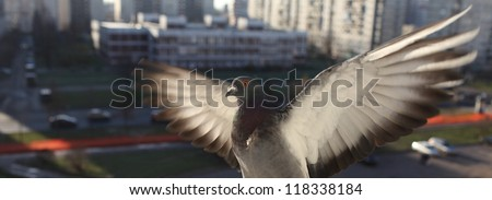 White dove with outspread wings in flight - stock photo