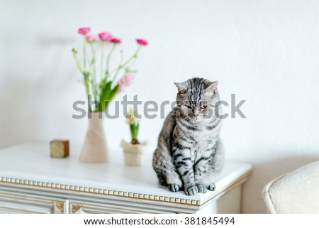 white dresser sits a gray tabby cat British breed and a vase of flowers - stock photo