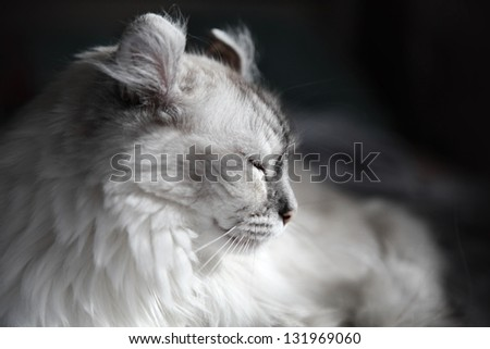 White drowsing American Curl cat on dark background - stock photo