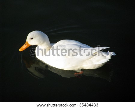 White duck in dark water