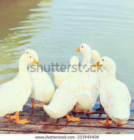 white duck - instagram filter - stock photo