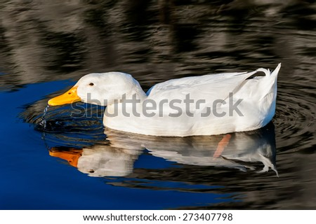 White duck on blue water lake