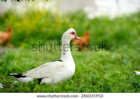 White duck on green grass - stock photo