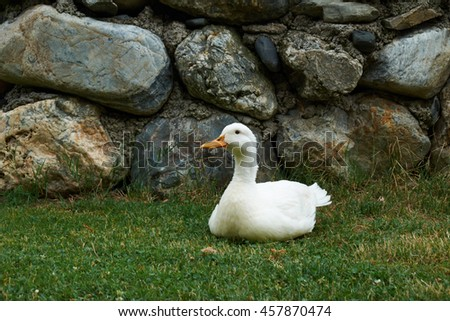 White duck sitting on green grass against stone wall - stock photo