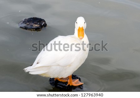 White duck standing in the pool - stock photo