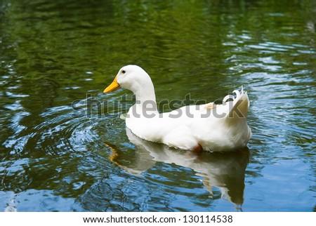 White duck swimming in water - stock photo
