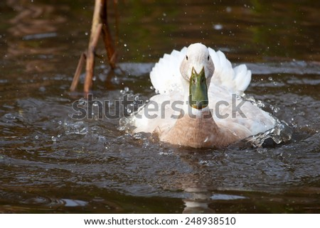 White duck with green bill splashing in a small pond. - stock photo