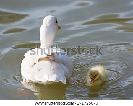 White duck with her duckling in a pond. Beauty in nature. - stock photo