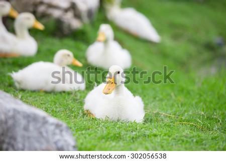 white ducks on green grass beside of pond - stock photo