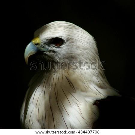 white eagle head on black bacground - stock photo