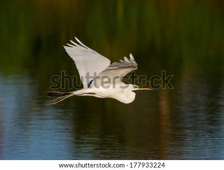 White egret flies over pond - stock photo
