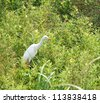 white egret in field of rice - stock photo