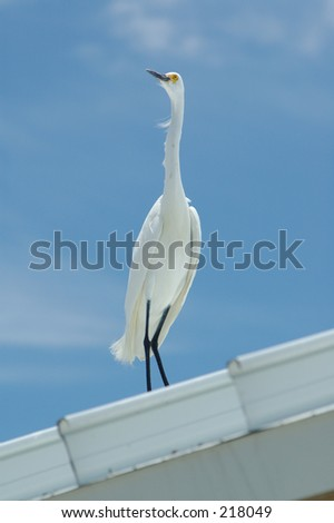 White egret on tin roof - stock photo