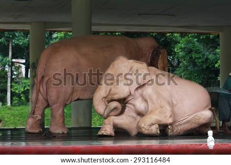 White elephant (animal) in Myanmar Yangon, Myanmar (Burma) Asia - stock photo