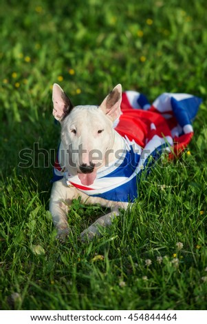 white english bull terrier dog outdoors in summer