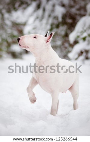 white english bull terrier dog winter portrait - stock photo