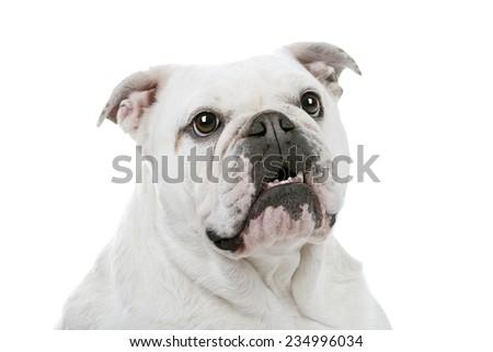 White English Bulldog in front of a white background - stock photo