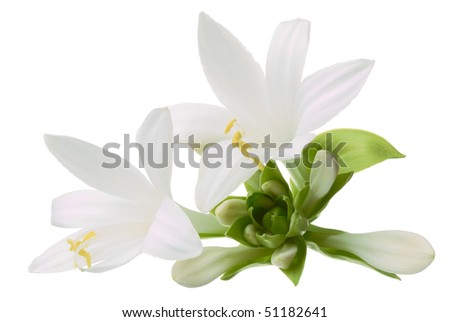 White expanded flower with pistil isolated on white background