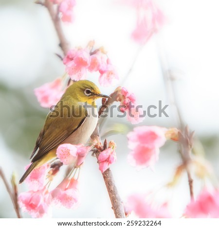 white-eye Bird on Cherry Blossom and sakura - stock photo
