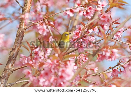 white-eye bird on twig of pink cherry blossom (sakura) / Japanese White-eye / Bird with flowers