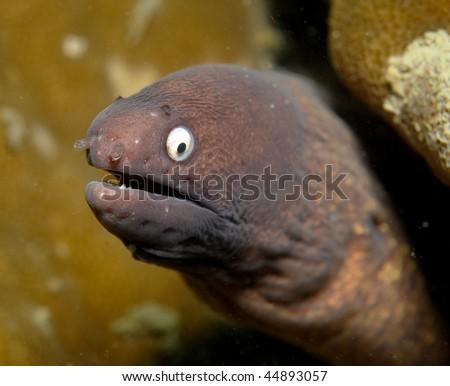 White-eye Moray Eel Gymnothorax thyrsoideus - stock photo