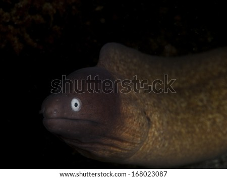 White-eyed Moray eel (Siderea thyrsoidea) in the Lembeh Straits, North Sulawesi, Indonesia