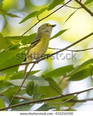 White-eyed Vireo (Vireo griseus) singing from a branch - stock photo