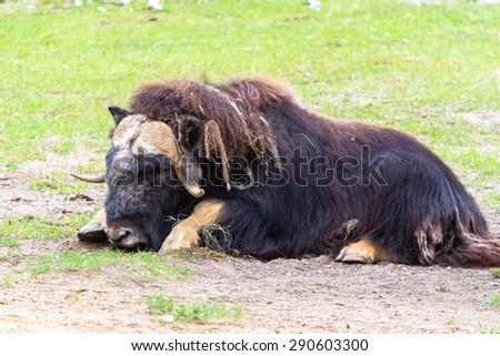 White-faced muskox resting on the ground - stock photo