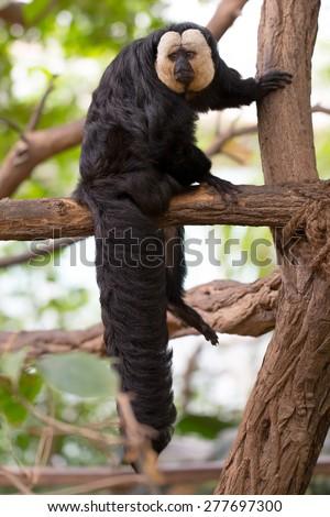 White-faced Saki Monkey - stock photo