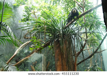 White-faced Saki monkey ( Pithecia pithecia)