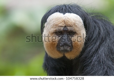 White-faced Saki (Pithecia pithecia) monkey - stock photo