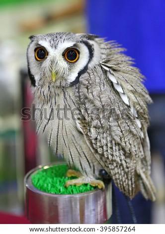 white faced scops owl - stock photo