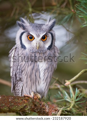 white faced scops owl sitting in tree - stock photo