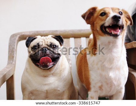 white fat cute lovely pug dog sitting on a wooden chair outdoor with a brown Jack Russel dog standing blur on the foreground