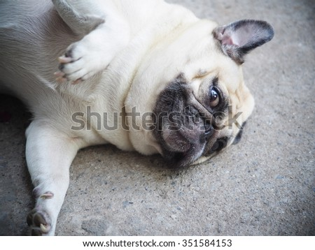 white fat lovely cute pug dog laying and rolling dancing on the floor making funny face and posture
