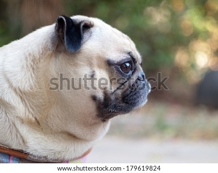 white fat pug lovely dog head shot side view sitting outdoor under natural sunlight  making moody face with expression of thinking, lonely, sad, wisdom, waiting, visionary - stock photo