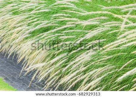 White feather flower grass plants long stock photo royalty free white feather flower grass plants with long green leaves and stem growing near a pavement mightylinksfo