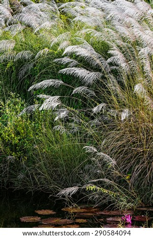 WHITE FEATHER PAMPAS GRASS PLUMES RELAXING POND TOBAGO NATURE  - stock photo