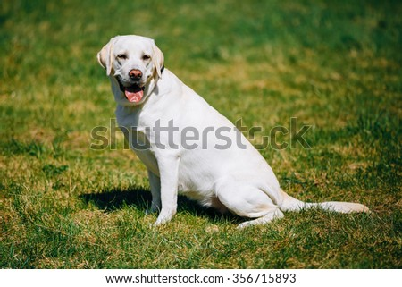 White Female Labrador Dog Sitting In Green Grass in Park