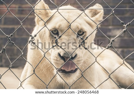 White female lion looking through fence. Mpongo game reserve. South Africa.