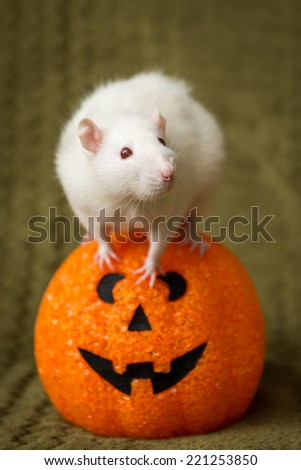 White female rat with a pumpkin for Halloween themed shoot