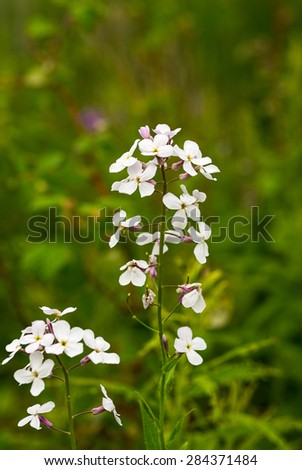 White Fireweed Flowers - Epilobium angustifolium - stock photo