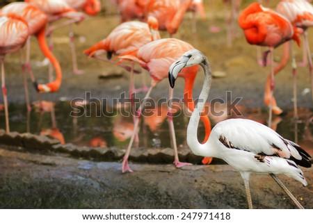 White flamingo in group of pink flamingos. - stock photo