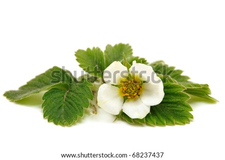 White flower and leaves of strawberry on white background